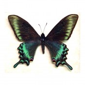 Papilio Maackii - Spring Butterfly