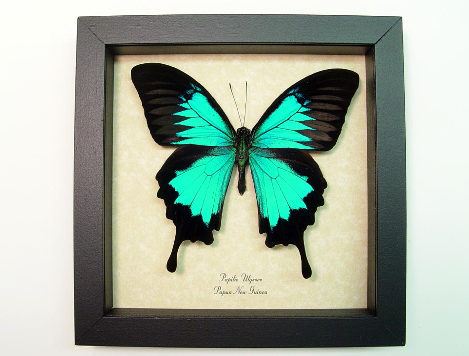 Papilio ulysses Metallic Blue Swallowtail Real Framed Butterfly Sug ...