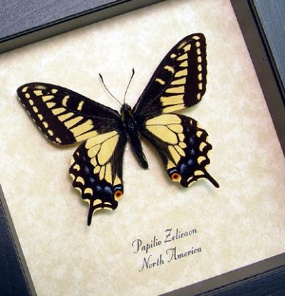 Papilio Zelicaon Male Anise Swallowtail Real Framed Butterfly