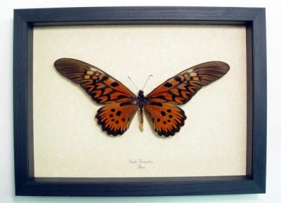 Papilio antimachus Male World's Widest Wingspan Real Framed African Butterfly