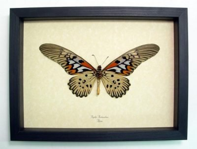 Papilio antimachus Verso Worlds Widest Wingspan Real Framed Butterfly