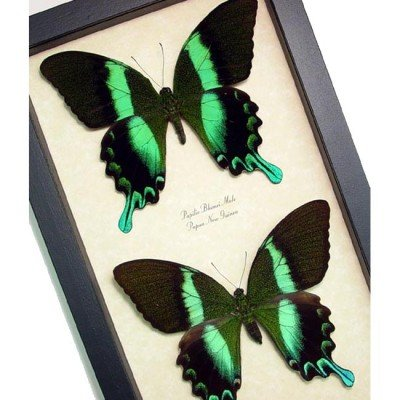 Papilio blumei - Green Peacock Pair