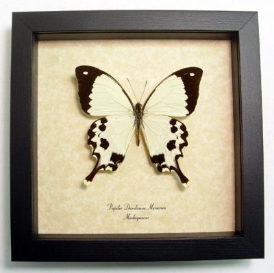 Papilio Dardanus Meriones Mocker Swallowtail Real Framed African Madagascar Butterfly Sug Retail $50