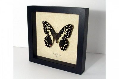 Papilio demodocus Real Framed Citrus Swallowtail Checkered African Butterfly