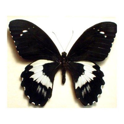Papilio gambrisius - Forest Giant Butterfly