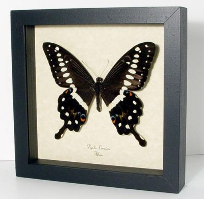 Papilio lormieri Male Central Emperor Swallowtail Real Framed Butterfly