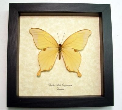Papilio nobilis crippsiannus Noble Swallowtail Real Framed Butterfly