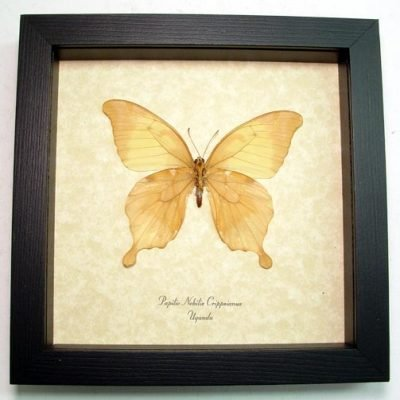 Papilio nobilis crippsiannus Verso Noble Swallowtail Real Framed Butterfly