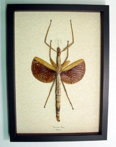 Phasmatidae Species Real Framed Camouflage Giant Walking Stick Insect