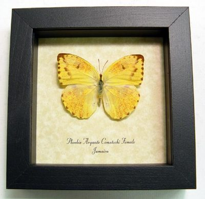 Phoebis a. comstocki F Apricot Sulpher Orange Real Framed Butterfly