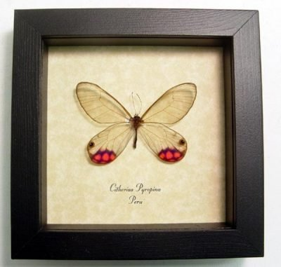 Cithaerias pyropina Rare Pink-tipped Satyr Pink Purple Real Framed Glasswing Butterfly