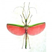 Pink Wing Walking Stick Insect