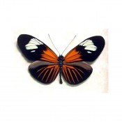 Poisonous Red Postman Heliconius Erato Butterfly
