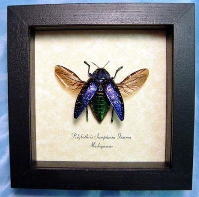 Polybothris sumptuosa gemma Real Framed Flying Purple Green Madagascar Jewel Beetle