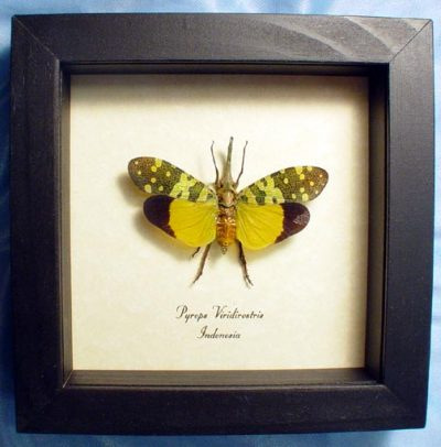 Pyrops viridirostris Real Framed Green Long Snout Lanternfly Insect