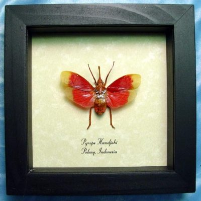 Pyrops hamdjahi Real Framed Blood Red Lanternfly Insect