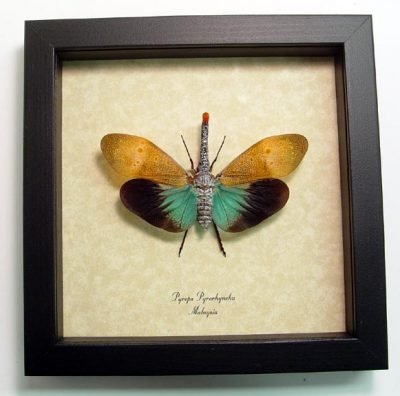 Pyrops pyrorhyncha Real Framed Red Nose Clown Lanternfly