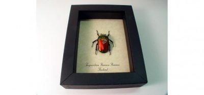 Torynorrhina flammea Red Scarlet Real Framed Flower Beetle