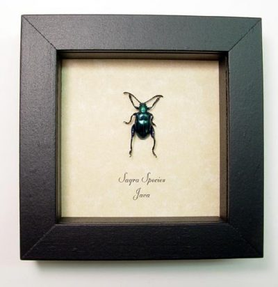 Sagra sp Blue Frog Leg Kangaroo Leaf Beetle Real Framed Insect