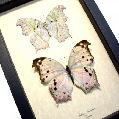Salamis parhassus Pair Mother Of Pearl Shimmery Real Framed Butterflies