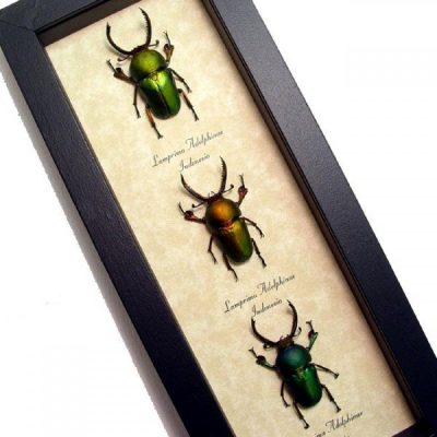Lamprima adolphinae Set 3 Real Framed Green Bronze Saw Tooth Beetles