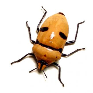 Smiling-Man-Beetle