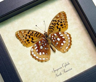 Speyeria Cybele Verso Spangled Fritillary North American Real Framed Butterfly
