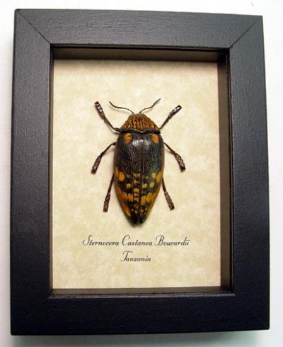Sternocera c. boucardii Real Framed Metallic Jewel Beetle