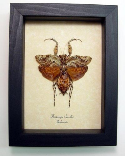 Theopompa servillei Real Framed Dead Leaf Mimic Praying Mantis