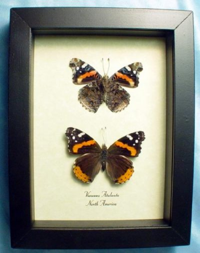 Vanessa atalanta Pair Red Admiral Real Framed North American Butterfly