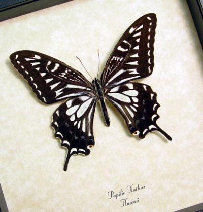 Papilio Xuthus Male Real Framed Hawaii Butterfly