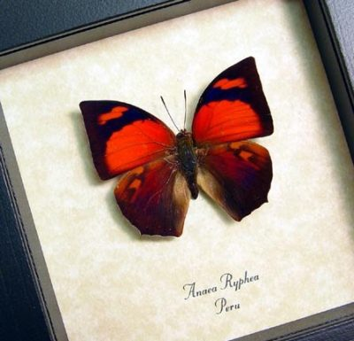 Anaea ryphea Real Framed Butterfly red colors with a purple sheen