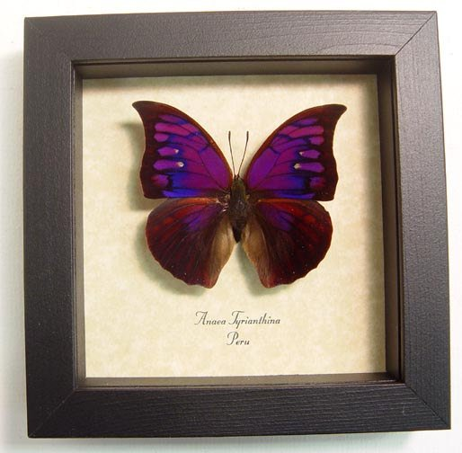 "5"" x 5"" Framed Insects"