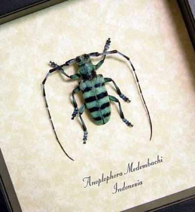 Anoplophora Medembachi male Real Framed Blue Longhorn Beetle