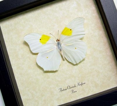 Anteos Chlorinde White Angled Sulphur Real Framed Flower Shaped Butterfly