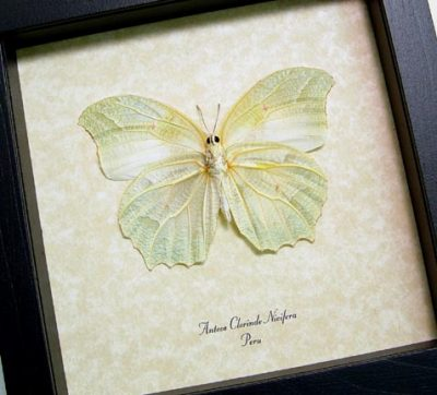 Anteos chlorinde Verso White Angled Sulphur Real Framed Flower Shaped Butterfly