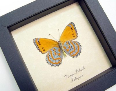 Asterope pechuelli Verso Orange Real Framed Butterfly