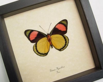 Batesia hypochlora verso Pink Yellow Real Framed Butterfly
