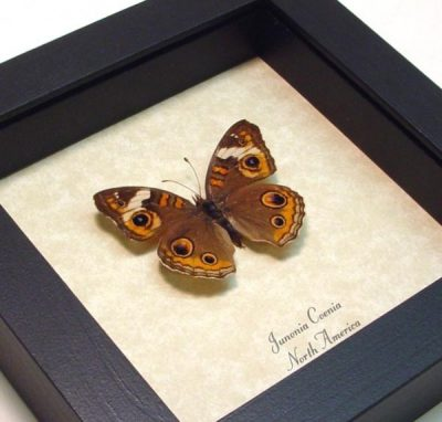 Junonia Coenia Male The Buckeye North America Real Framed Butterfly