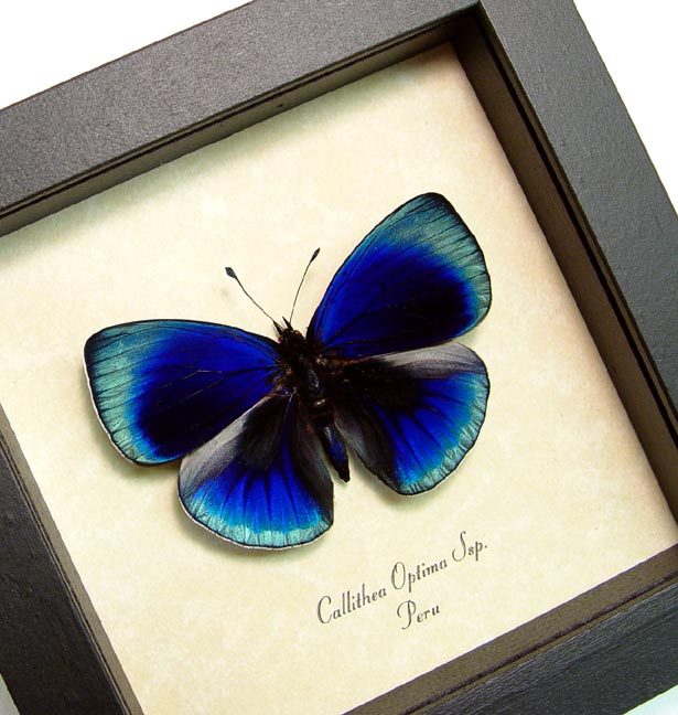 Callithea optima Bright Sapphire Blue Real Framed Butterfly Sug ...