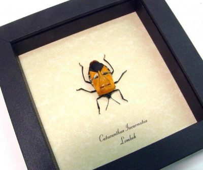 Catacanthus incarnatus Real Framed Orange Man Face Beetle