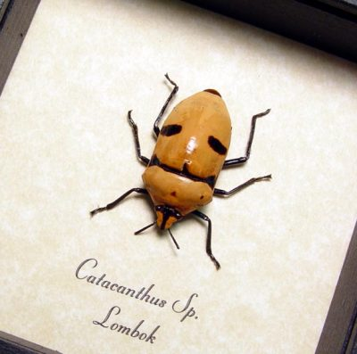 Catacanthus Sp Real Framed Orange Man Face Beetle