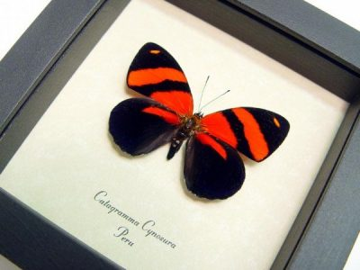 Catagramma cynosura Blood Red Black Real Framed Butterfly