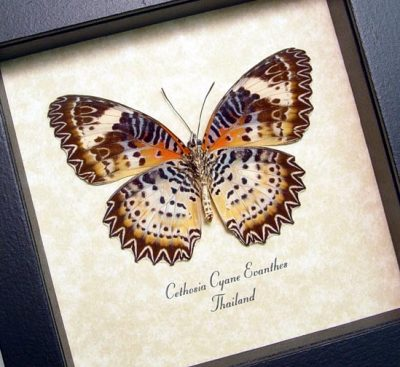 Cethosia Cyane euanthes Leopard Lacewing Red Yellow Real Framed Butterfly
