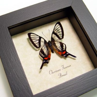 Chorinea faunus Sp Real Framed Glasswing Swallowtail Butterfly