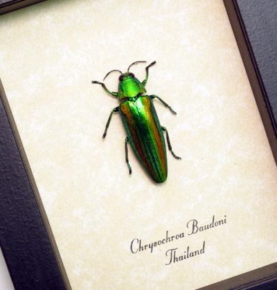 Chrysochroa baudoni Real Framed Metallic Green Wood Boring Beetle Sug Retail $40