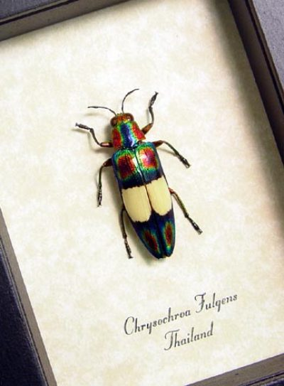 Chrysochroa fulgens Metallic Real Framed red green Jewel Wood Boring Beetle