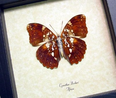 Cymothoe Beckeri Male Verso Beckers creamy yellow glider Real Framed Butterfly
