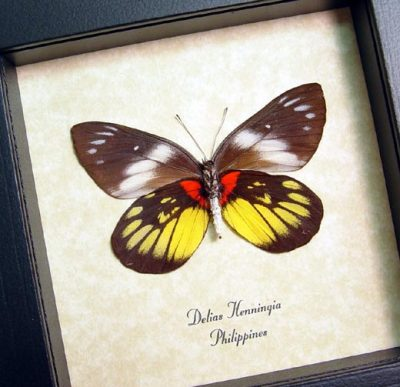 Delias Henningia Verso Red Yellow Real Framed Butterfly