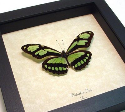 Philaethria dido The Scarce Bamboo Page Green Leaf Mimic Real Framed Butterfly